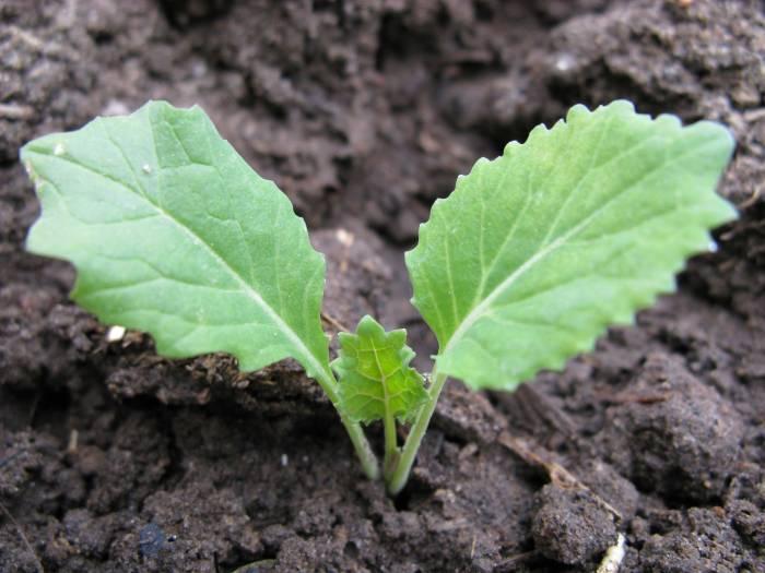 Росток савойской капусты