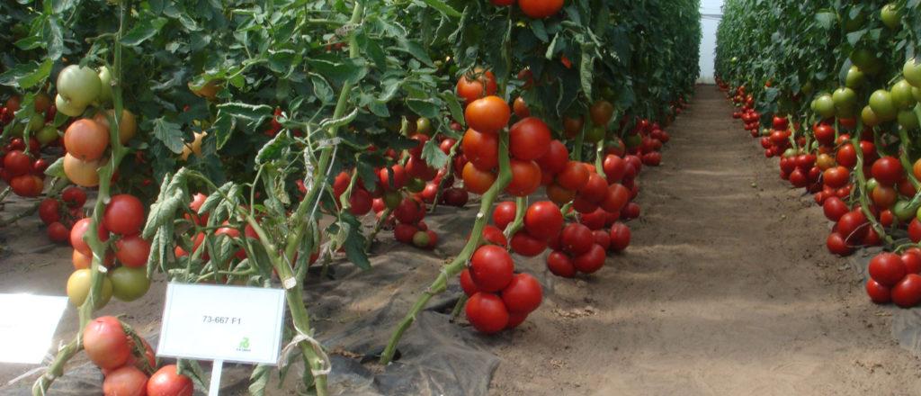 Детерминантные томаты на грядке