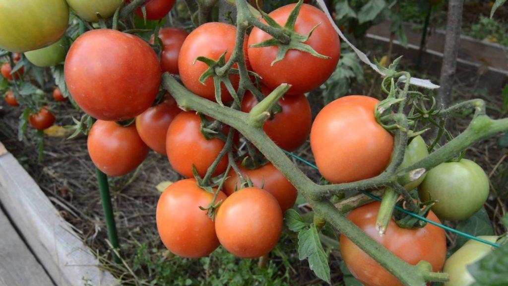 Детерминантный сорт помидоров