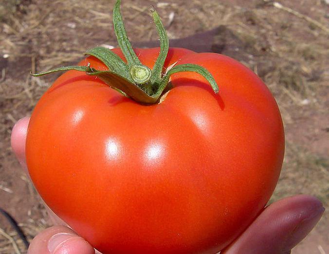 Волгоградский помидор в руке