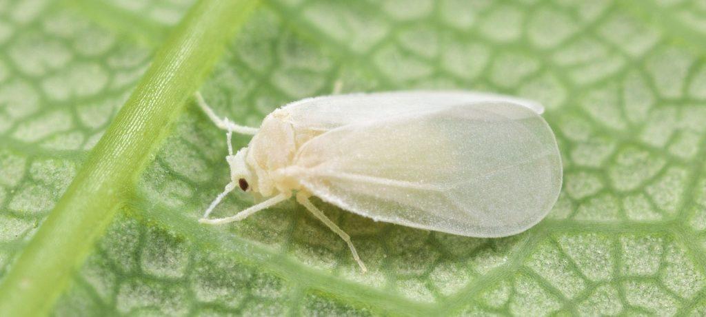 Белокрылка на листьях помидоров