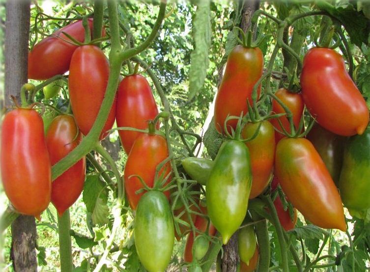 Французский гроздевой сорт помидоров