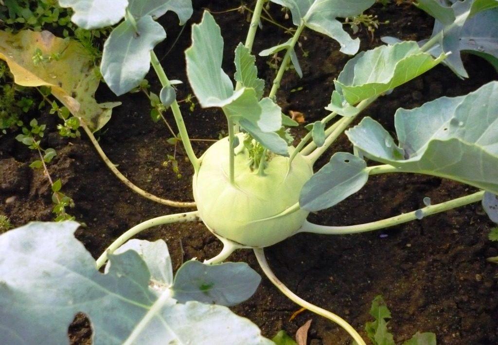 Выращивание капусты Кольраби на огороде