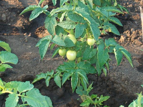 Куст помидоров на огороде