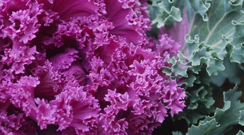 Разные сорта капусты кале