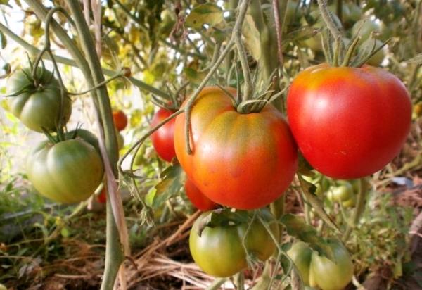 Растущие томаты на грядке