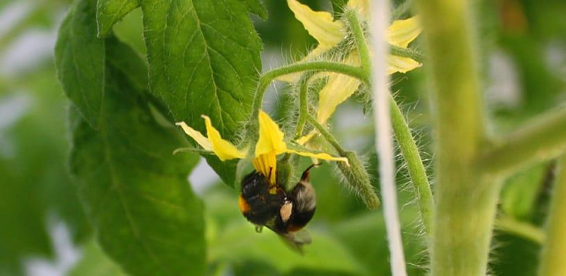 Пчела опыляет цветки помидоров