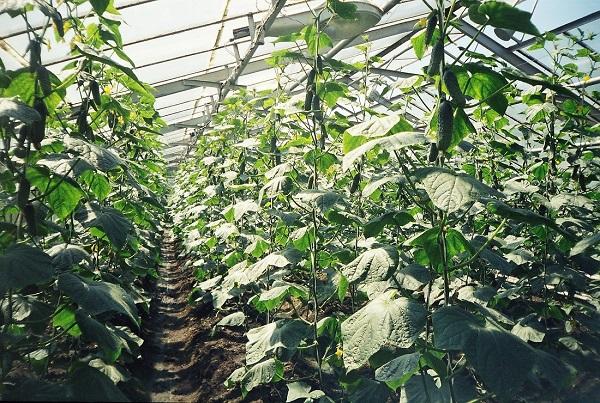 Огурцы, растущие в теплице