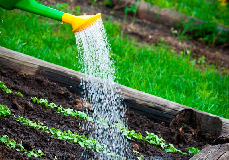 Полив капусты на огороде