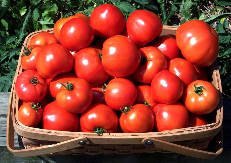 Урожай помидоров в корзине