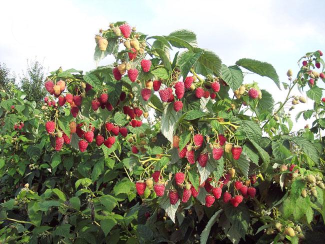 Здоровый штамбовой куст малины