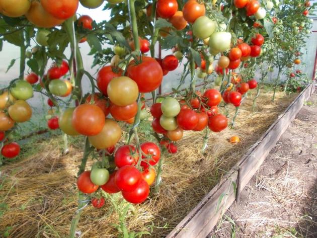 Куст помидоров Евпатор