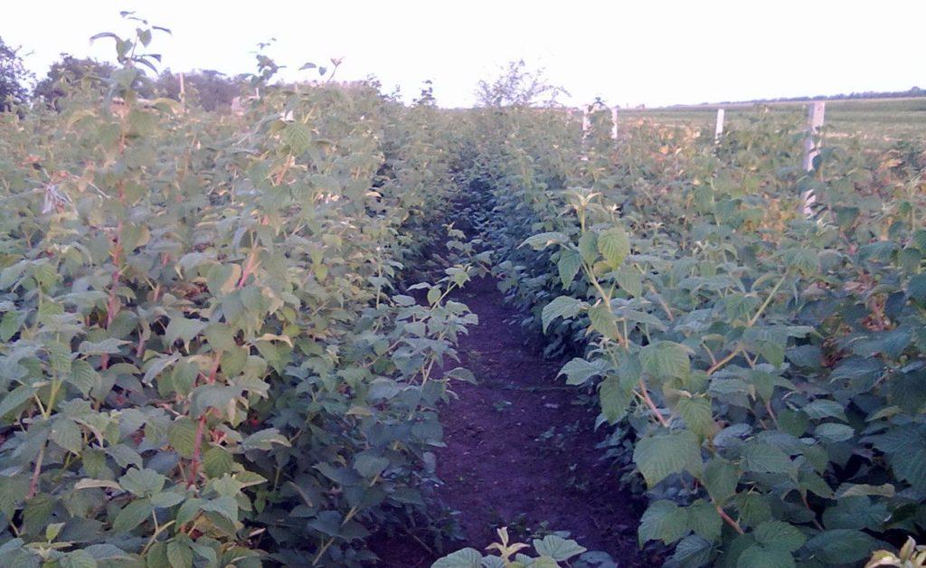 Кусты малины, растущие на огороде