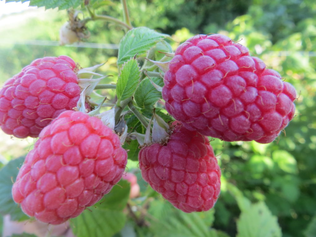 Сочные ягоды малины