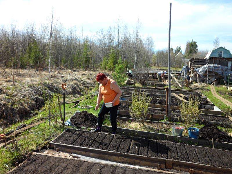 Посев укропа в отрытый грунт весной