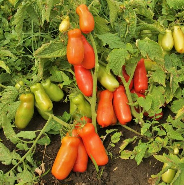 Сорт томатов Веселый гном