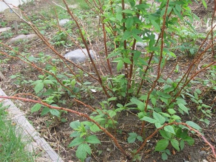 Куст малины, растущий на участке