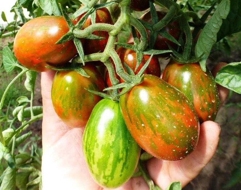 Ветка помидоров Черный мавр