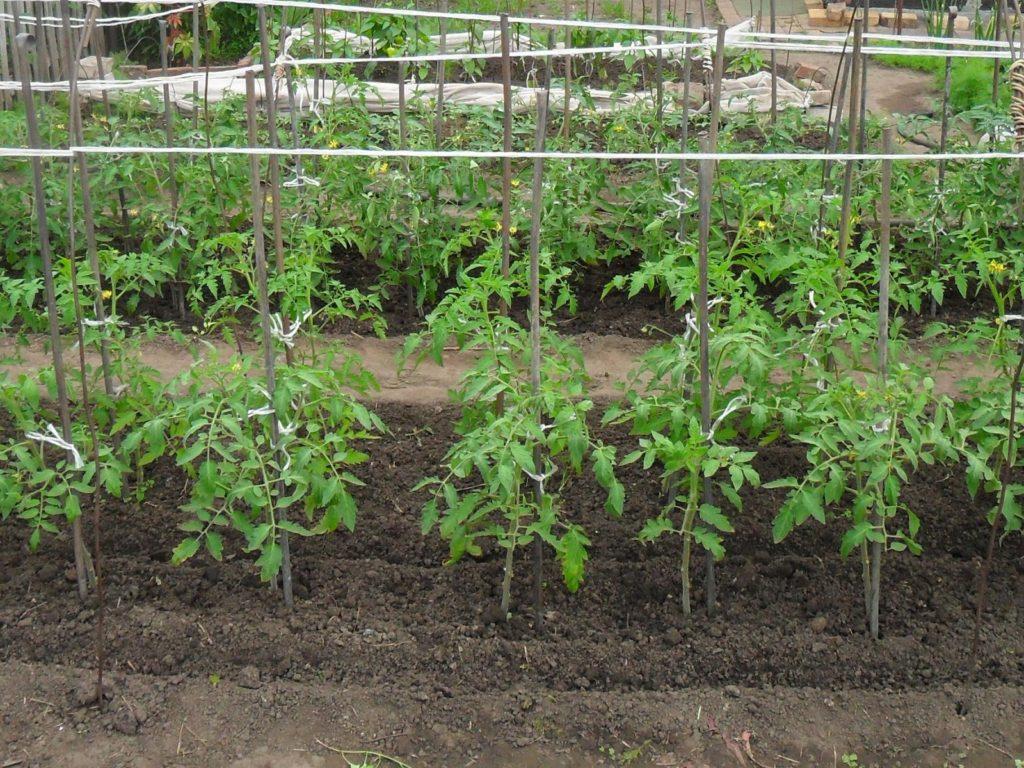 Дефицит света у томатов