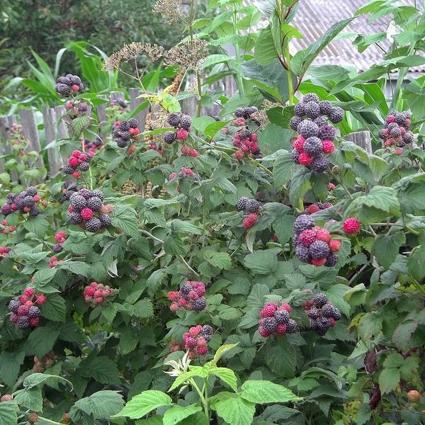 Кусты черноплодной малины