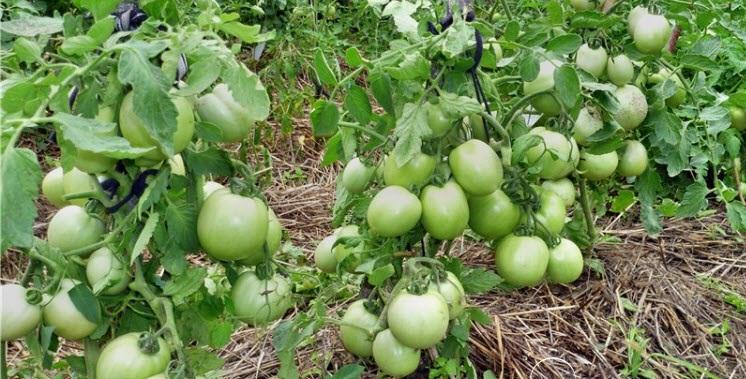 Выращивание томатов на огороде