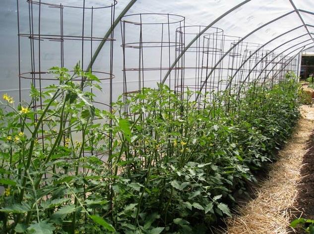 Подвязка помидор метод каркаса