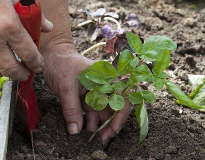 Посадка растения в почву
