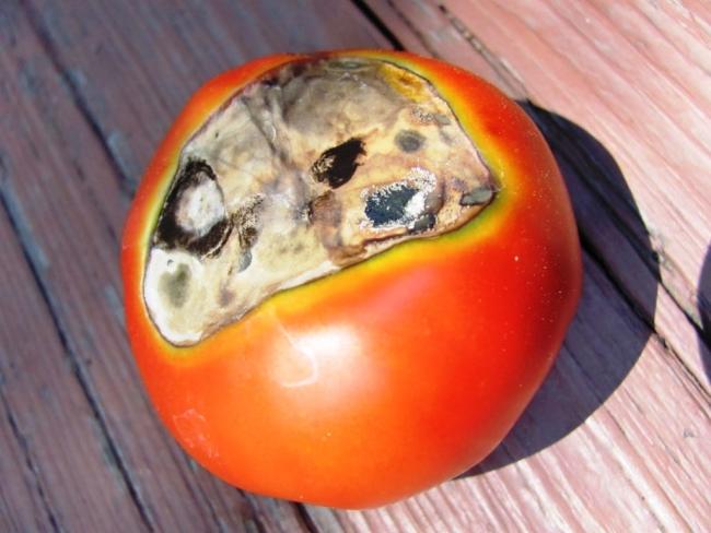 Болезнь томатов - фомоз