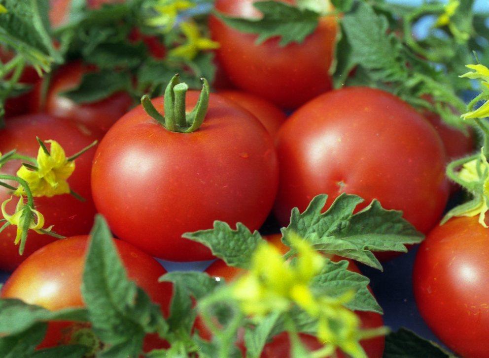 Сорт томатов Джина