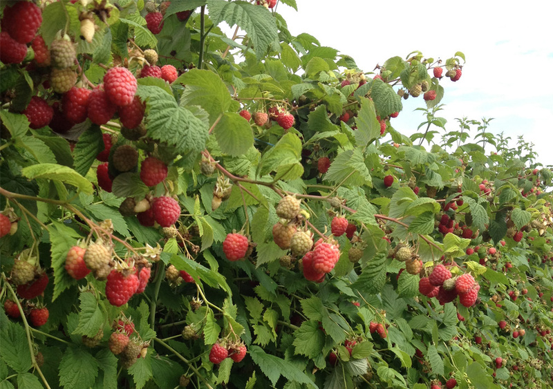 Куст неподвязнной малины на огороде