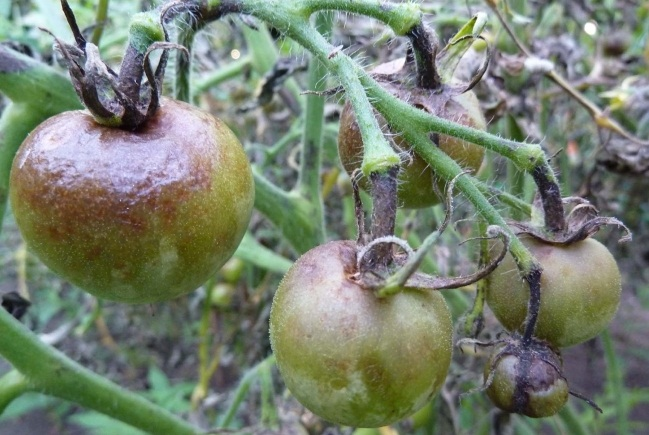 Болезнь томатов - фитофтора