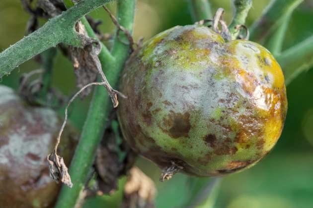 Кладоспориоз плодов помидор