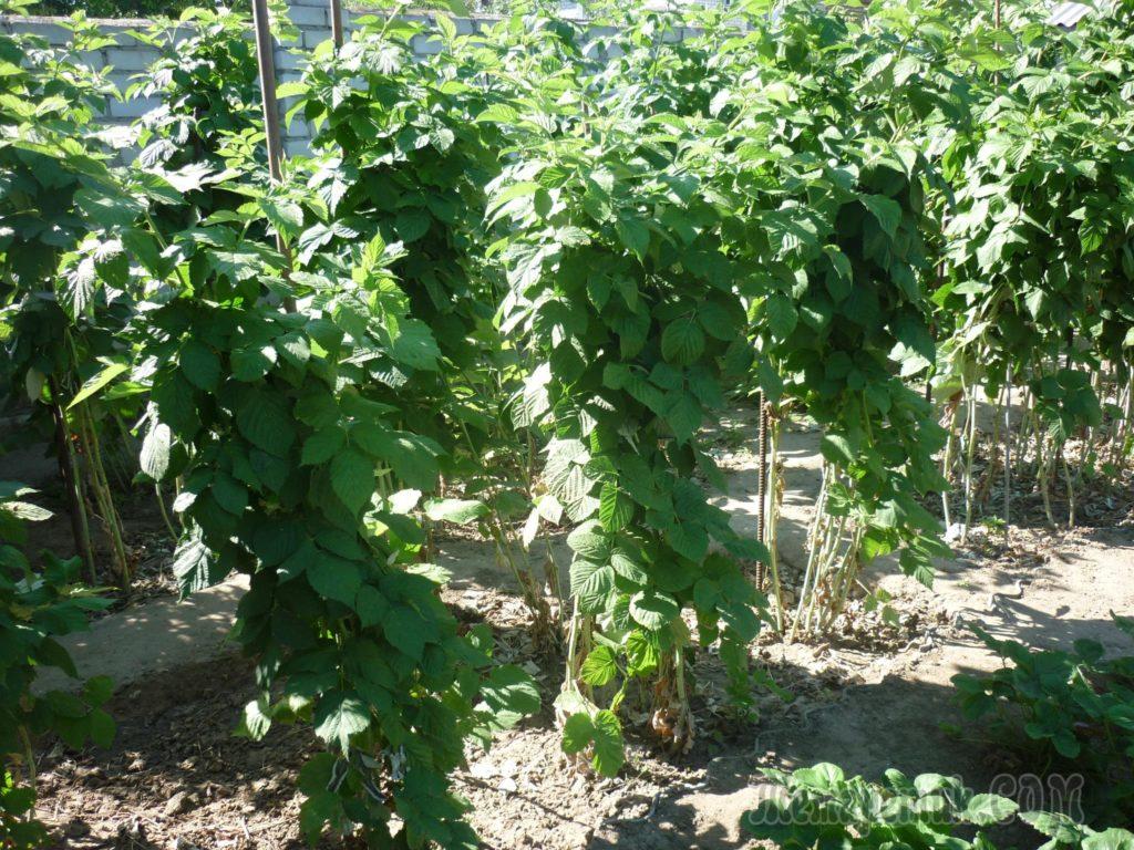 Кусты малины, высаженные траншейным способом