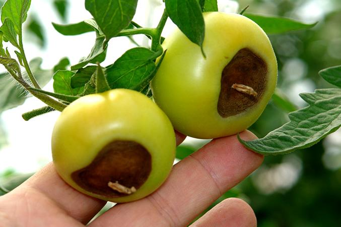 Вершинная гниль плодов томатов