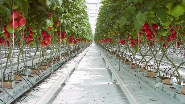 Урожай помидоров в теплице