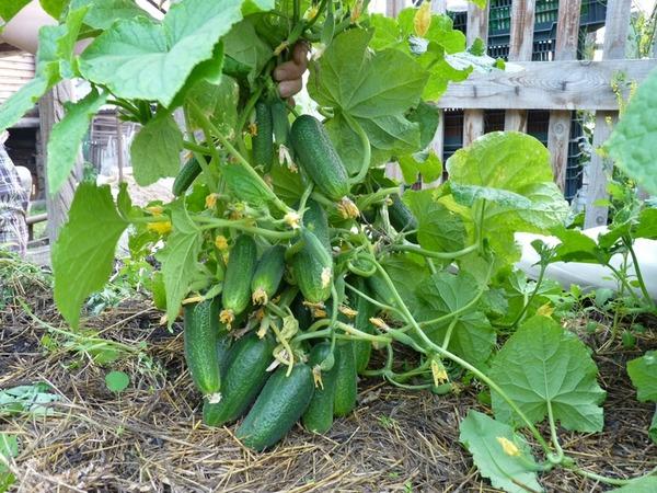 Богатый урожай огурцов на грядке