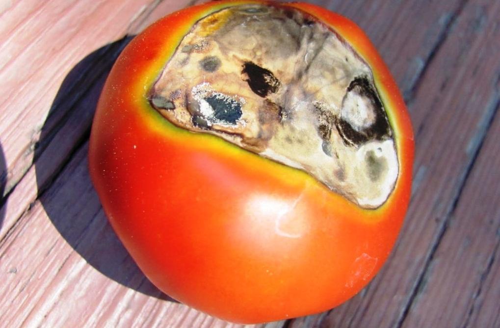 Заболевание помидоров - вершинная гниль