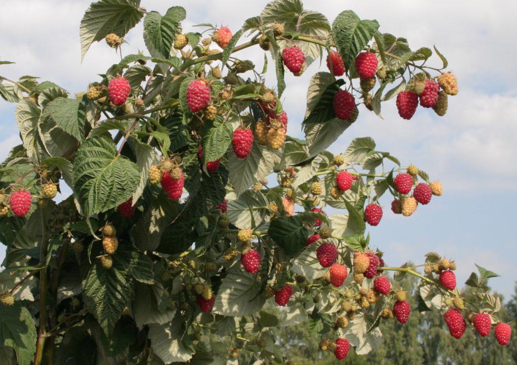 Урожай малины на кусте