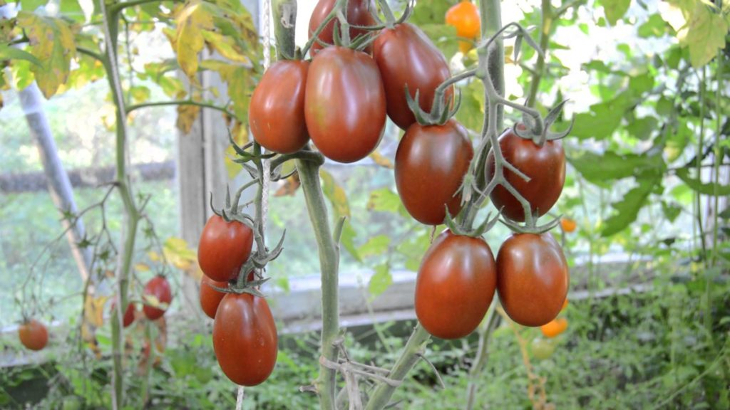 Сорт помидоров Черный мавр