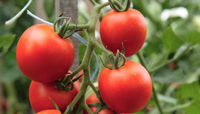 Красные томаты на ветке