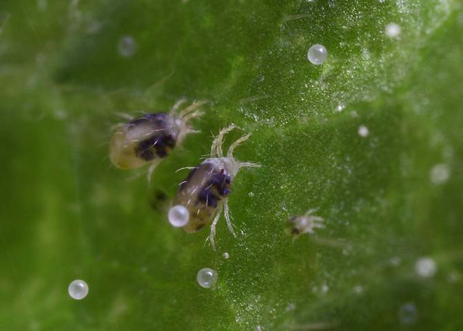 Вредитель кустов огурцов - паутинный клещ