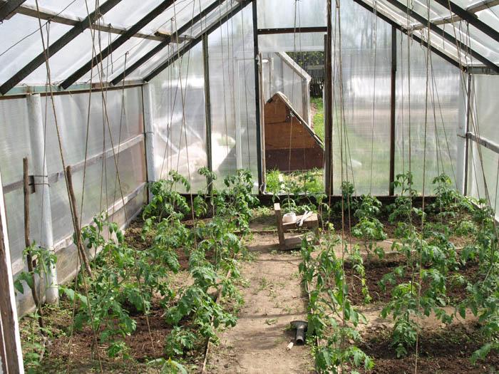 Подвязанные томаты веревкой