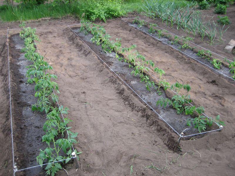 Рассада томатов хурма