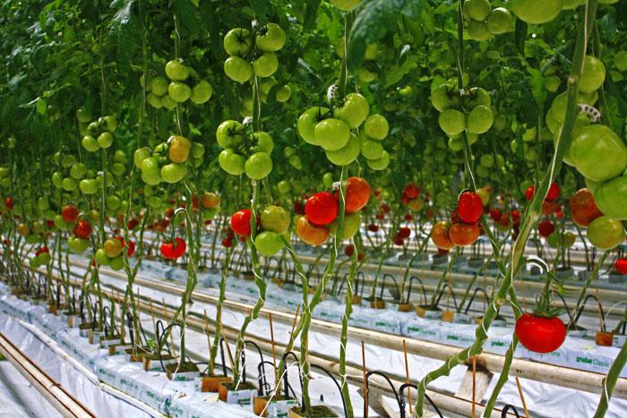 Вертикально подвязанные томаты