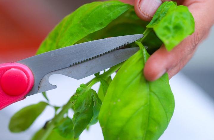 Обрезка листьев базилика