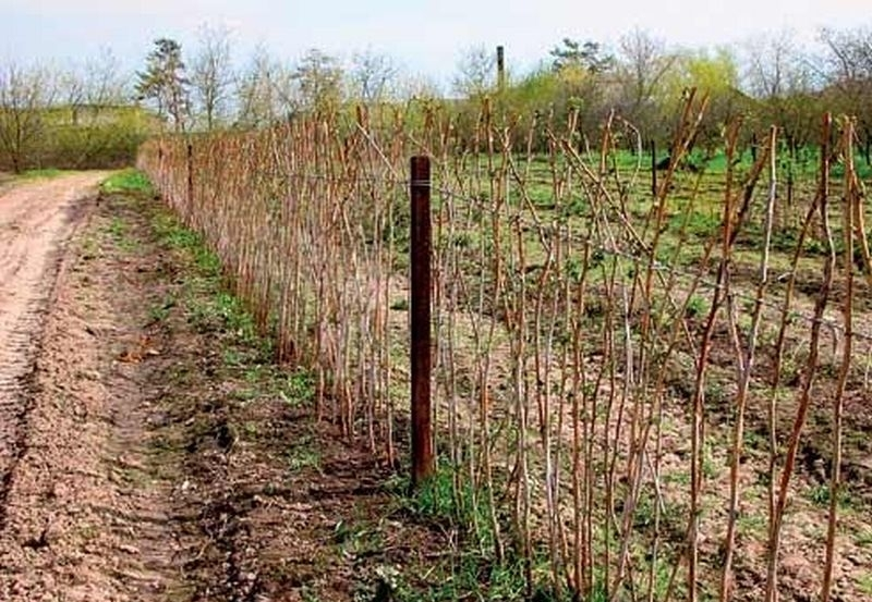 Кусты малины, подвязанные шпалерой