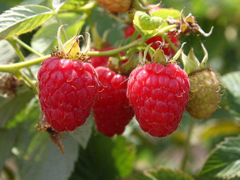 Созревшие красные ягоды малины