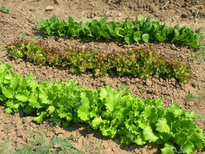 Ряды посаженного шпината на огороде