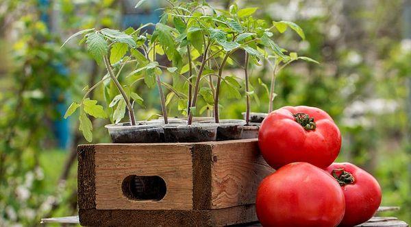 Когда и как правильно сажать помидоры в открытый грунт рассадой