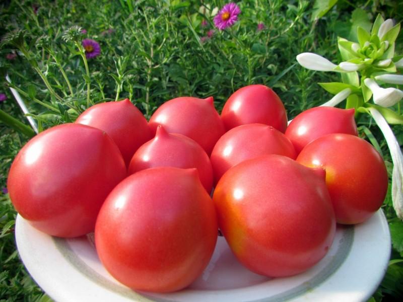 Сорт коллекционных томатов